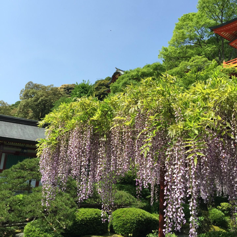 祐徳稲荷神社の藤
